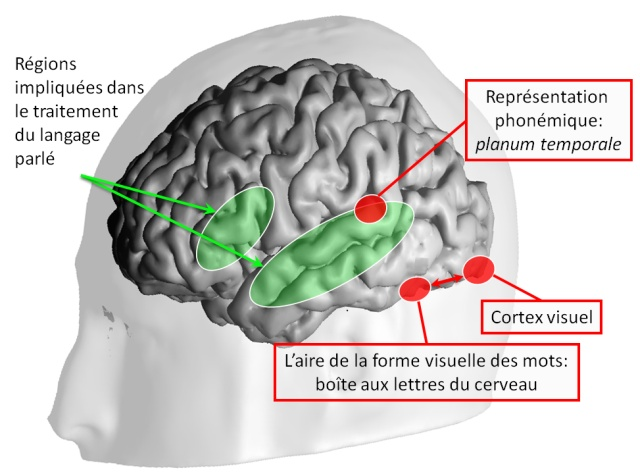 Les zones du cerveau activées pour le langage et la lecture